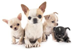 Conclusion For Are Chihuahuas Mean Dogs