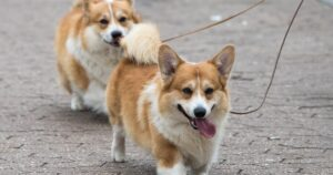 Conclusion For Are Corgis Good with Kids
