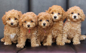 Are Micro-Labradoodles Considered Hypoallergenic