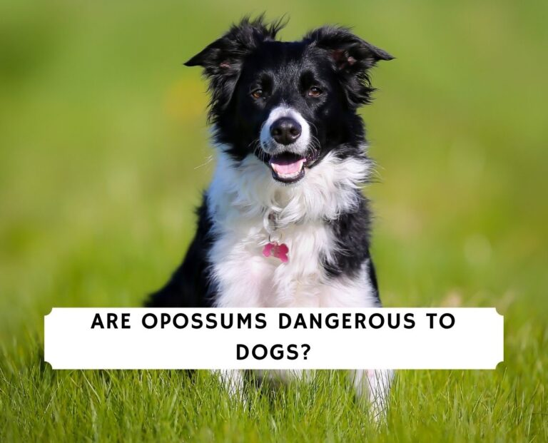 Are Opossums Dangerous To Dogs