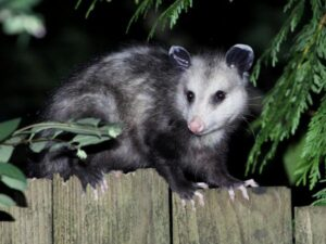 Opossum Diseases To Dogs