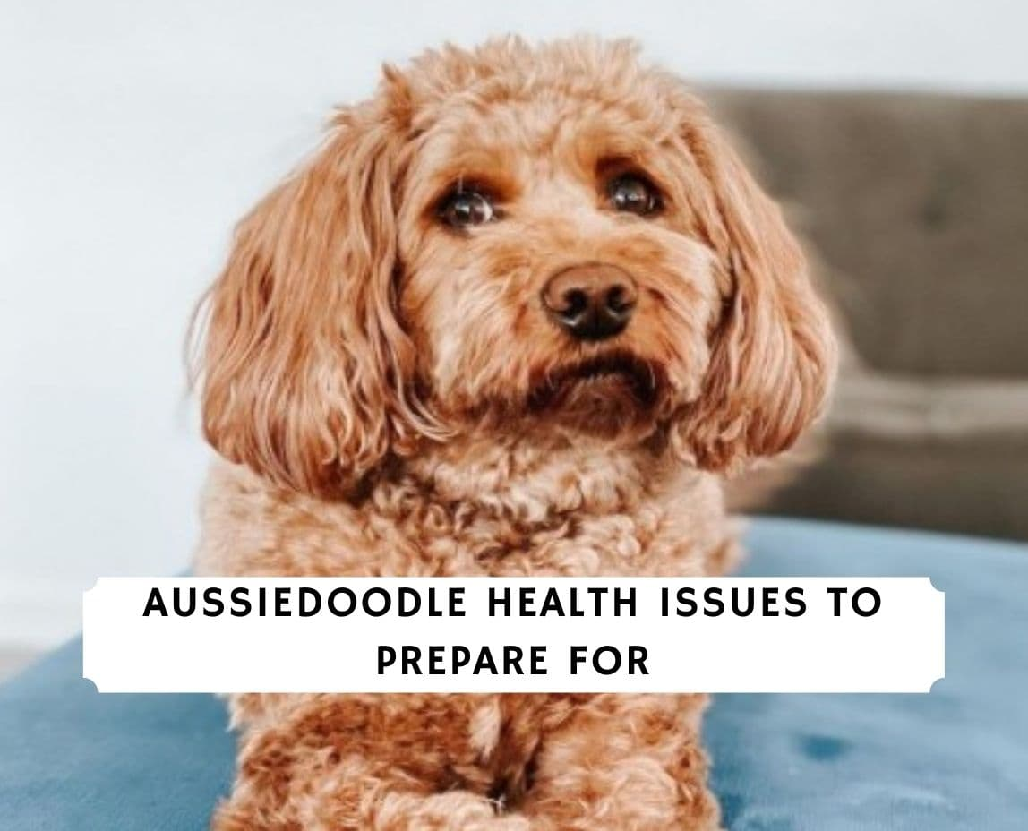 Aussiedoodle Health Issues