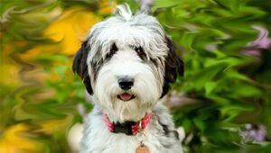 Conclusion For Aussiedoodle Health Issues