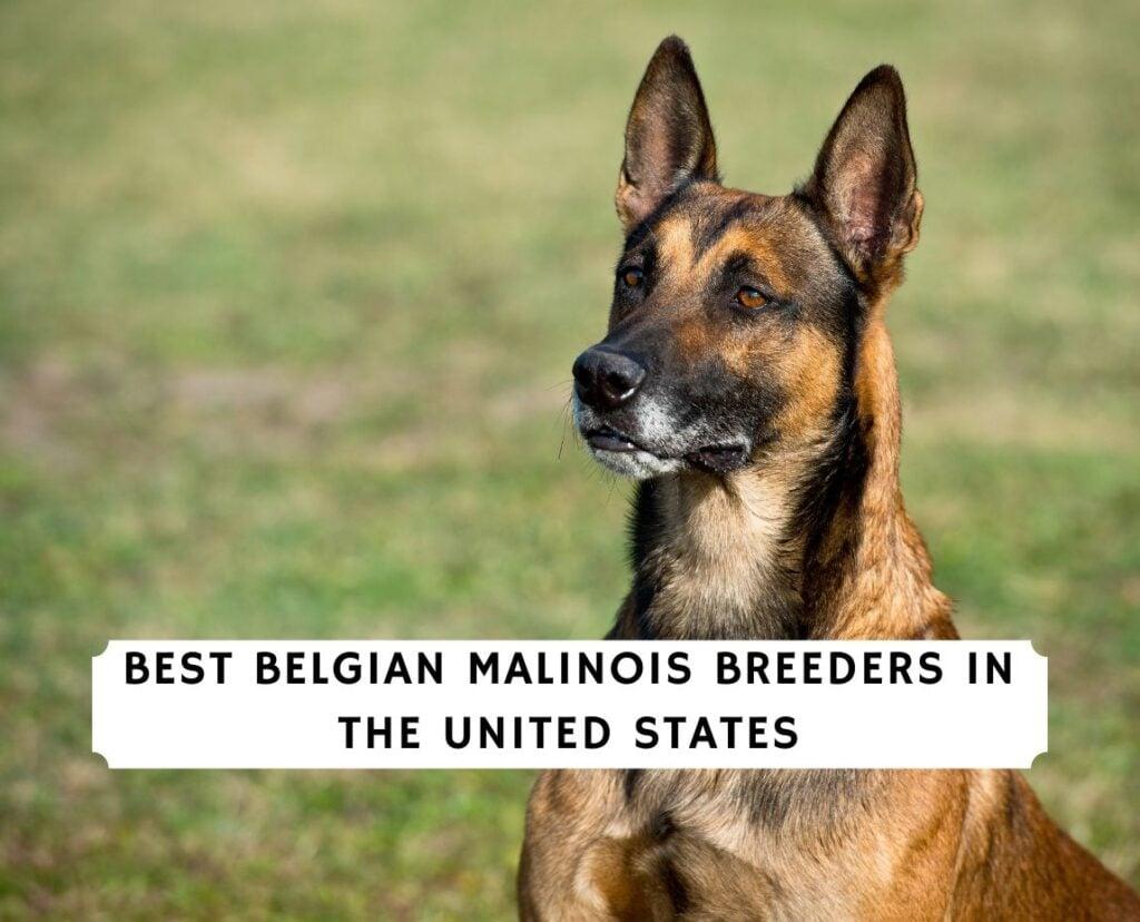 Belgian Malinois Breeders