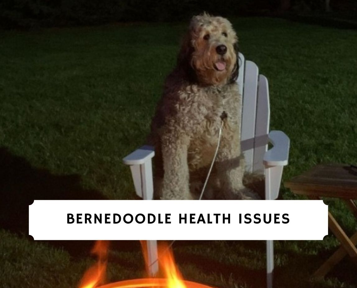 Bernedoodle Health Issues