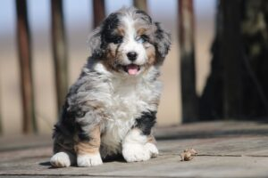 Conclusion For Bernedoodle Health Issues