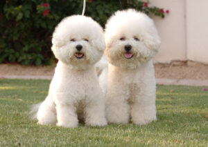 Bichon Frise Puppies For Sale in the United States