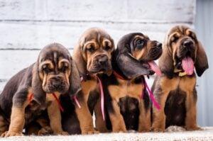 Types of Bloodhound Breeders