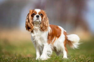"""Conclusion For The """"Best Cavalier King Charles Spaniel Breeders in California"""""""