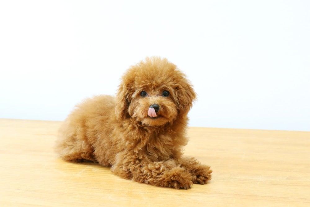 Best Dog Food For Toy Poodles