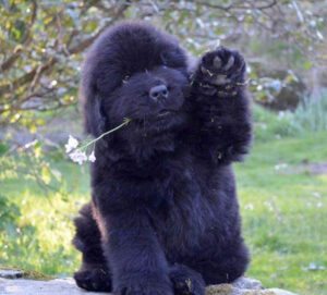 """Conclusion For The """"Best Newfoundland Breeders in the United States"""""""