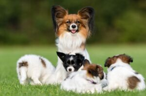 Conclusion For The Best Papillon Breeders in the United States