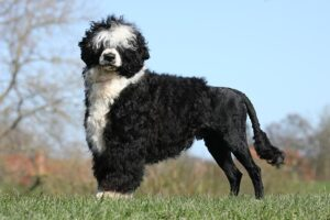 Conclusion For The Best Portuguese Water Dog Breeders In The United States