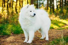 Conclusion For The Best Samoyed Breeders in the United States