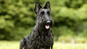 Conclusion For The Best Scottish Terrier Breeders in the United States