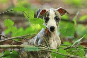 Conclusion For The Best Whippet Breeders in the United States