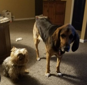 Bloodhound Puppies For Sale in the United States