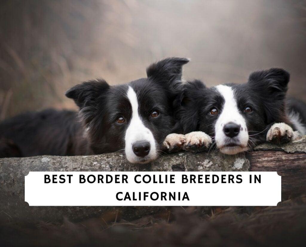 Border Collie Breeders in California