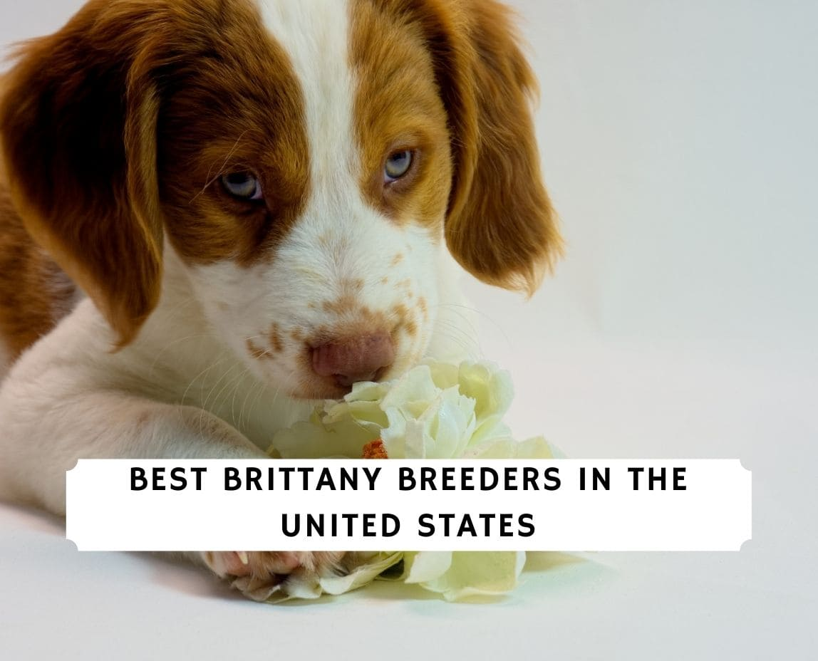 Brittany Breeders