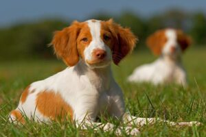 Conclusion For The Best Brittany Breeders in the United States