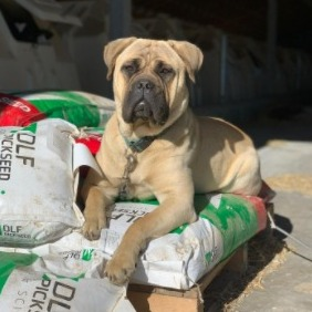 Bullmastiff Puppies For Sale in the United States