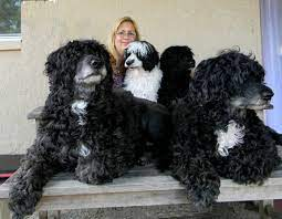 Caladesi Portugese Water Dogs