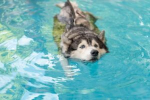 Can Huskies Learn To Swim