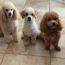 Carolina Mini Poodles