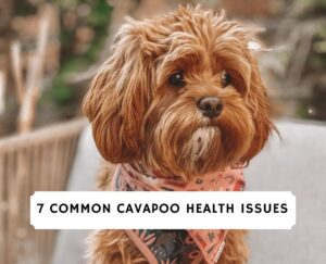 Cavapoo Health Issues