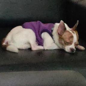 Chihuahua Age