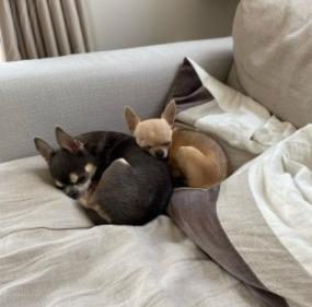 Chihuahua Anxiety