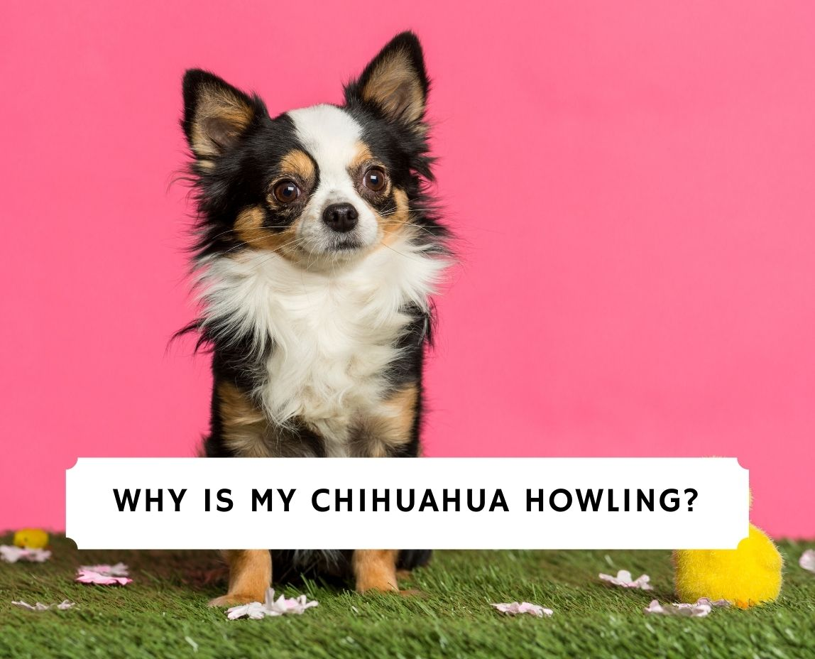 Chihuahua Howling