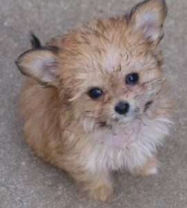 Conclusion For The Best Chihuahua Poodle Mix Guide