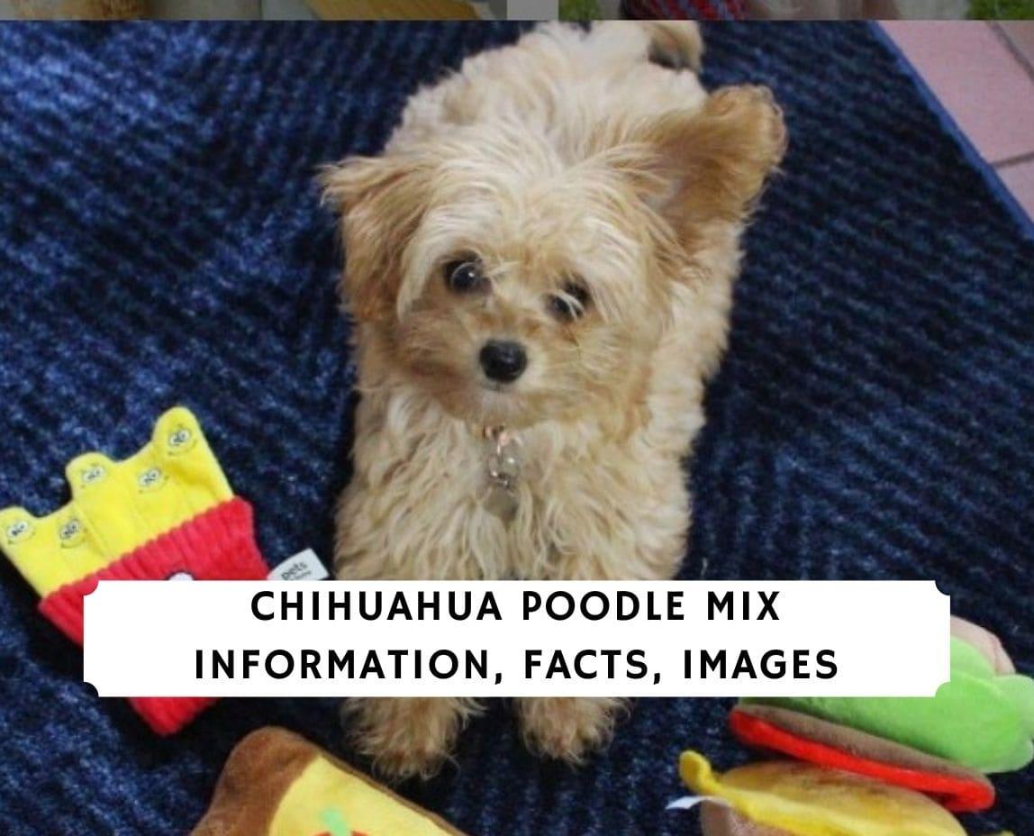 Chihuahua Poodle Mix