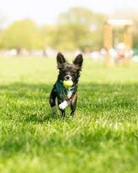 Chihuahua Poodle exercise