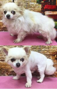 Chihuahua Poodle grooming