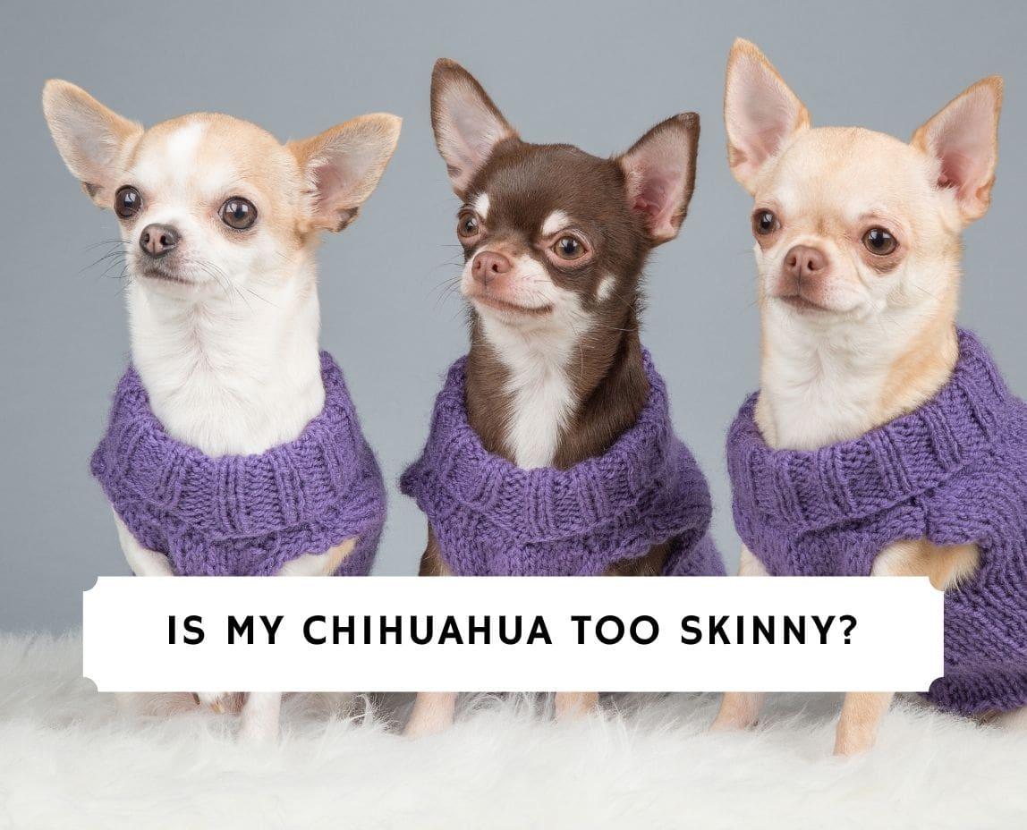 Chihuahua Too Skinny