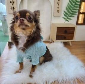 Chihuahua Warming Up