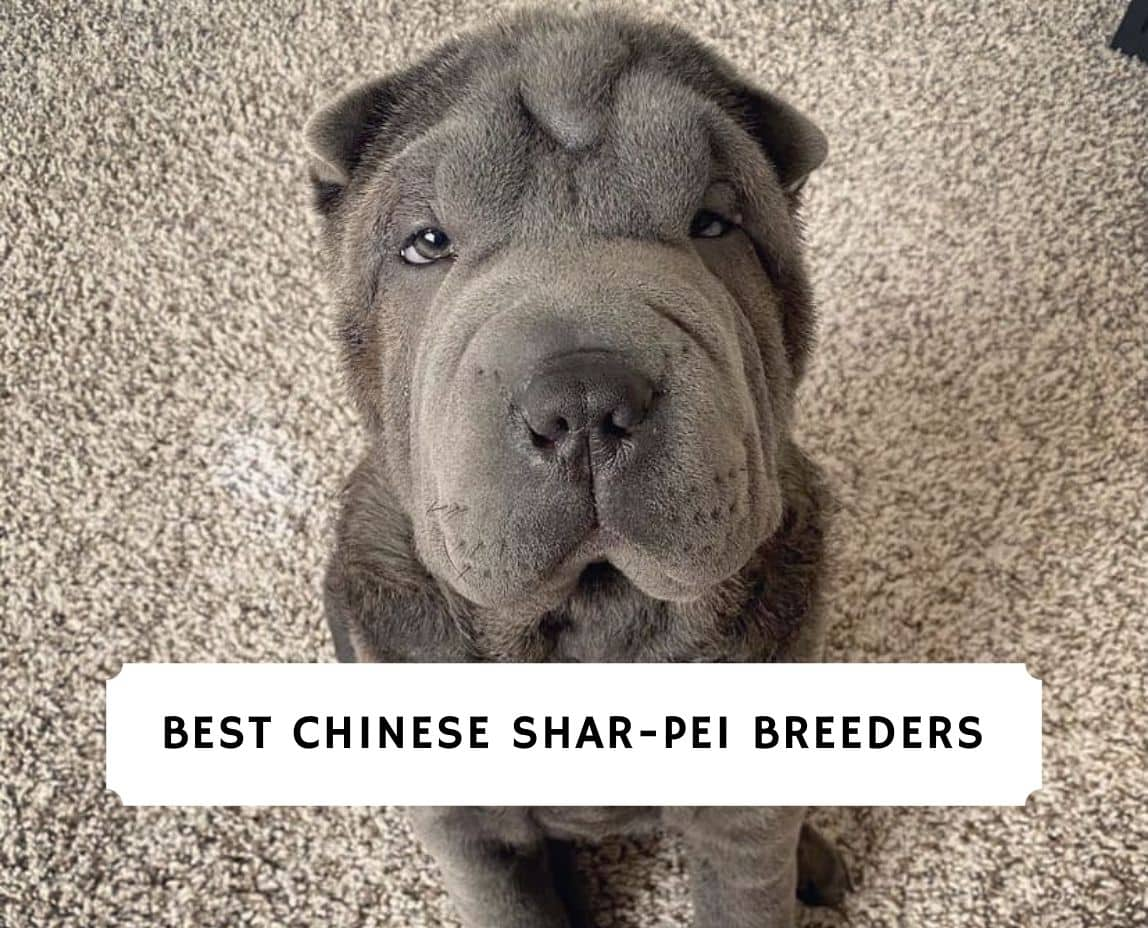 Chinese Shar-Pei puppies for sale