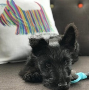 Chyscott Scottish Terriers & Whippets