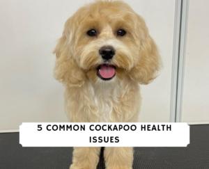Cockapoo Health Issues