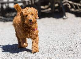 Common Facts About the Goldendoodle