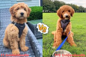 Common Features Between F1 And F2 Goldendoodle