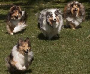 Con Brio Shetland Sheepdogs