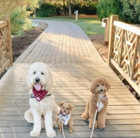 Conclusion For F1 vs F2 Goldendoodle