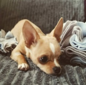 Conclusion For How Long Does a Chihuahua Stay in Heat