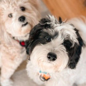 Conclusion For Mini Aussiedoodle Puppies For Sale