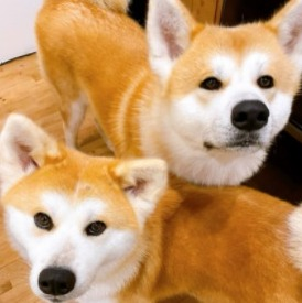 Conclusion For The Best Akita Breeders in the United States