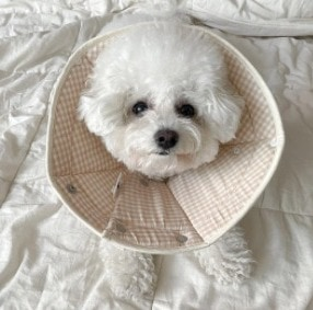 Conclusion For The Best Bichon Frise Breeders in the United States