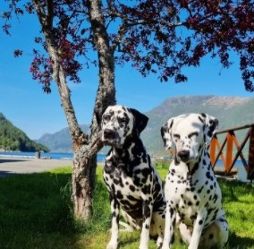 Conclusion For The Best Dalmatian Breeders in the United States